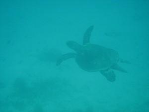 Sea Turtle in Cagdanao Island